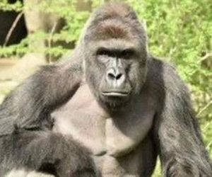 Armed robbers stole N6.90m in Kano Zoo not Gorilla
