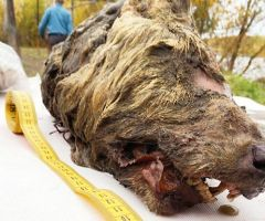 40,000 Years Old - Giant Wolf Head Discovered In Siberia .html